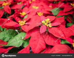 Schöne Rote Weihnachten Blume Weihnachtsstern Aufhängen Am
