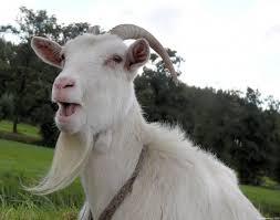 Goat (study skin) » Manaaki Whenua
