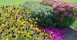 fall garden flowers. A Fall Garden Planted With Aster, Sedum, And Black-eyed Susan Will Show Flowers