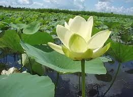 Image result for hoa sen trắng