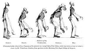 Ape Evolution Chart March Of Progress Wikipedia