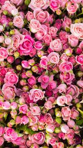 Pink Rose Wallpaper For Phone