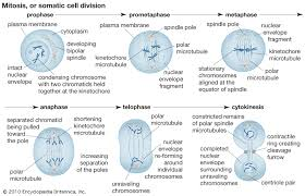 Mitosis Definition Stages Diagram Facts Britannica