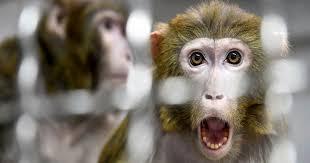 Chinese scientists insert human brain gene into <b>monkeys</b>, <b>spark</b> ...
