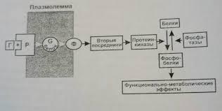 Реферат Физиологические эффекты гормонов плохо проникающих в  Физиологические эффекты гормонов плохо проникающих в клетку
