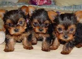 baby yorkshire terrier.  Baby Yorkie Growing For Baby Yorkshire Terrier I