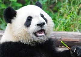 10 facts about <b>pandas</b>! | National Geographic Kids