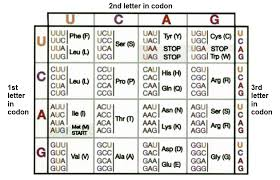 Amino Acid Translation Chart Image Result For Codon Chart Amino Acids Chart Periodic