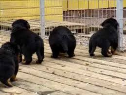 rottweiler dog baby. rottweiler puppies 4 weeks old dog baby a