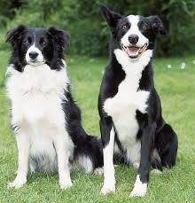 border collie smartest dog breed in