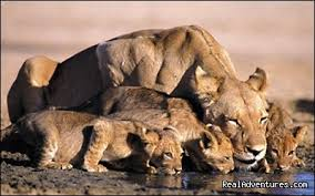 lioness and 4 cubs. Fine Lioness Lioness And Its Cubs  Masai Mara Migration Safari In Kenya With And 4 Cubs U