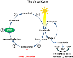 Visual Cycle Flow Chart Processing Of Vitamin A In The Visual Cycle Enzymatic