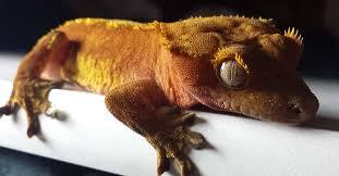 how often do crested geckos eat