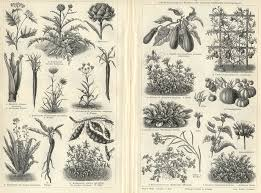 VEGETABLE PLANTS, Antique Botanical Engraving :: Meyers Botanical Prints :: Botanical  Prints :