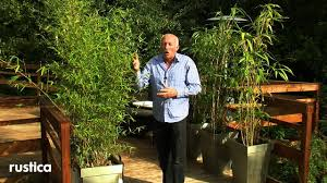 Entretenir Et Soigner Un Bambou En Pot Youtube Bambou Fargesia En Pot Pour Terrasse