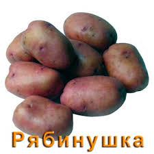 Сорта картофеля описание и фото ru Картофель Рябинушка