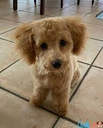why do maltipoo stink 5 reasons why a