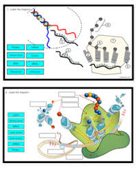 Fill in the correat mrna bases by transoribing the bottom dna code c. Label Transcription And Translation Key By Biologycorner Tpt