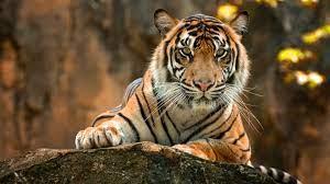 Tiger Paws 4k, HD Animals, 4k ...