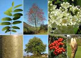 Sorbus aucuparia L. - Sistema informativo sulla flora delle Alpi ...