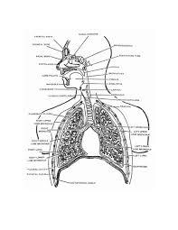 The respiratory system diagram anatomy chart body on human respiratory system for the respiratory system diagram