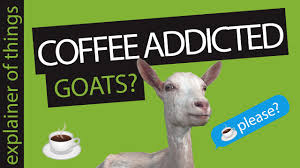 A legend has it that coffee was accidentally discovered by an ethiopian whose goat started behaving different after consuming some of the raw coffee beans. Coffee History Did Goats Discovered Coffee Youtube