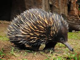 echidna puggle full grown.  Grown Dame For Echidna Puggle Full Grown T