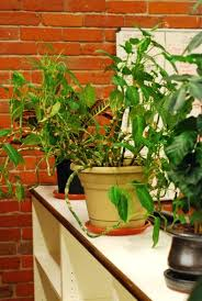 best office plant no sunlight. best indoor plants for low light office good the environment that require no sunlight plant