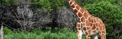 Essay on giraffe animal