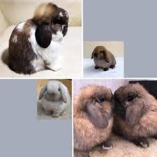 Holland Lop Rabbit Breed Lafeber Co Small Mammals