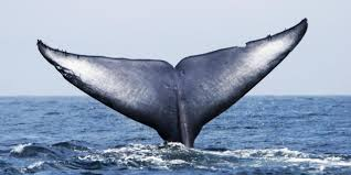 Image result for fins whale pic