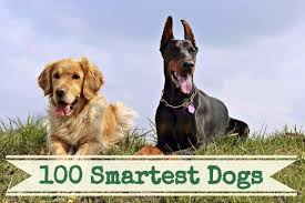 A List Of The 100 Smartest Dog Breeds Pethelpful