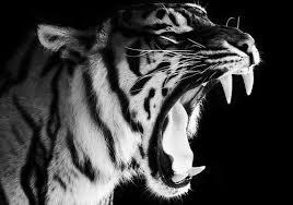tiger roar tumblr. Beautiful Tumblr Tumblr_lahujsYZJN1qcbrdao1_500jpg 500351 Teeth Tiger Fangs Roar In Tiger Roar Tumblr