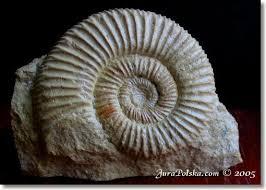 JuraPolska - jurajskie skamieniałości, amonity, belemnity z keloweju i  oksfordu
