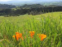 mount diablo state park wild flowers in bloom mid march