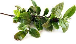 fresh tea leaves.  Fresh Fresh Tea Leaves Inside Specialty Produce