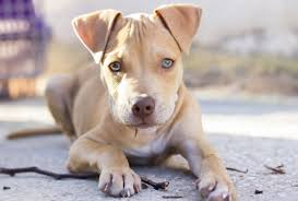 dogs love chewing on things and for you to stop them from destroying everything around you you need to look for the top pitbull dog toys in the market
