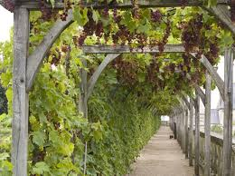 grape arbor - over the path to the bee garden OR over the front path (