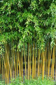 Small Picture The 25 best Bamboo plants ideas on Pinterest Bamboo garden