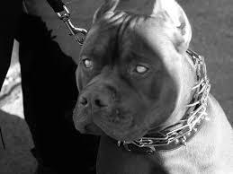 pitbull dog hdq images