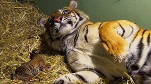 Birth of Twin Tiger Cubs   Tigers About The House   BBC - YouTube