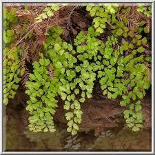 Photo 1131-08: Southern Maidenhair Fern (Adiantum capillus...Pool Preserve,  west from Austin. Texas