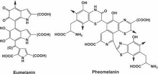 Image result for eumelanin vs pheomelanin