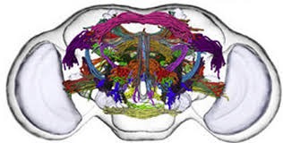 decoding the human brain help from a fly kurzweilai fly brain wiring diagram current biology