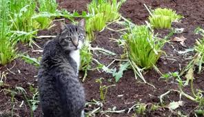 how to keep cats out of garden. Delighful Keep Cats Out Of Your Garden Prevent Roaming Felines From Making Your  Vegetable Bed Their Litter Box With This Selection Deterrents Throughout How To Keep Of Garden Hobby Farms