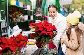 So Bleiben Weihnachtssterne Lange Schön Blütenpracht Im