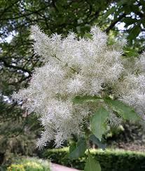 flowering trees top 13 picks for