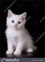 black and white kitten with blue eyes. Contemporary With White Kitten With Blue Eyes Throughout Black And L