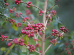 Geisha coffee is currently the most expensive bean in the world with a price of up to $803 per lbs. Gesha Coffees 2017 Still Pricey Still Amazing Coffee Review