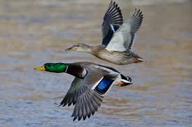 Six Duck Identification Factors Mallard Love Of Hunting